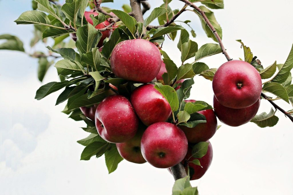 apple, red, red apple
